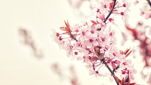 Branche de fleur de cerisier
