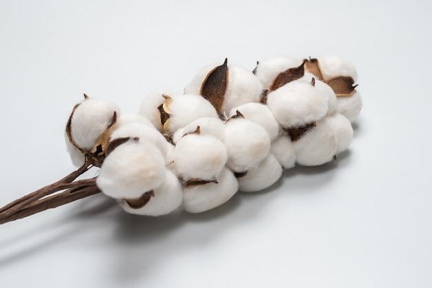 Branche de fleur de coton isolé sur fond blanc. vue de dessus.