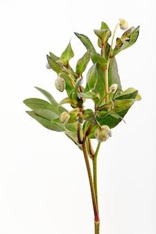 Branche de fleur d'ellébore vert isoler sur blanc