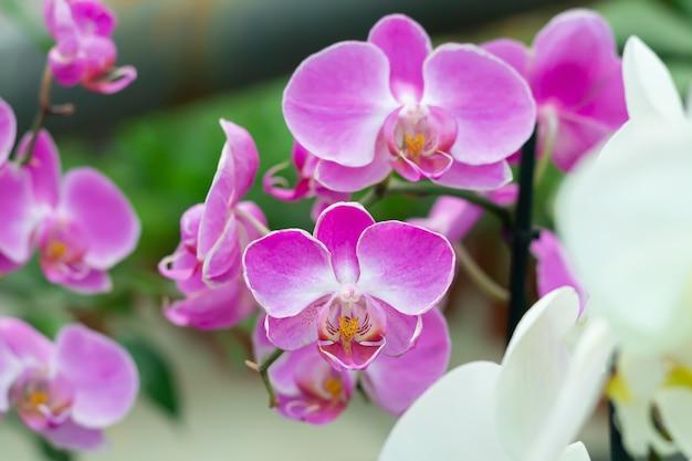 Branche de fleur d'orchidée pourpre phalaenopsis en gros plan jardin tropical