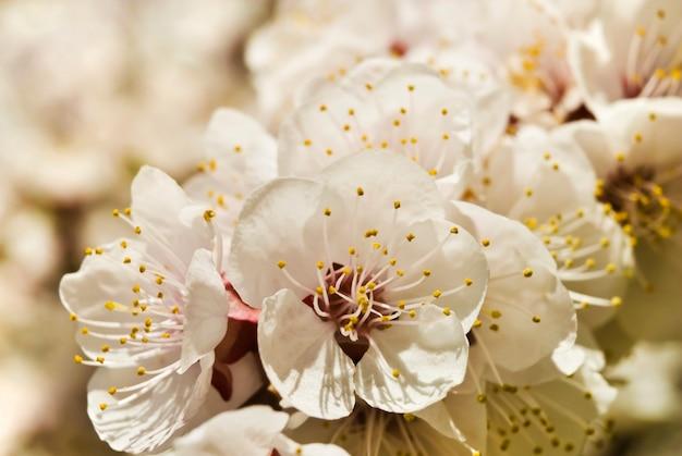 Branche fleurie d'abricots
