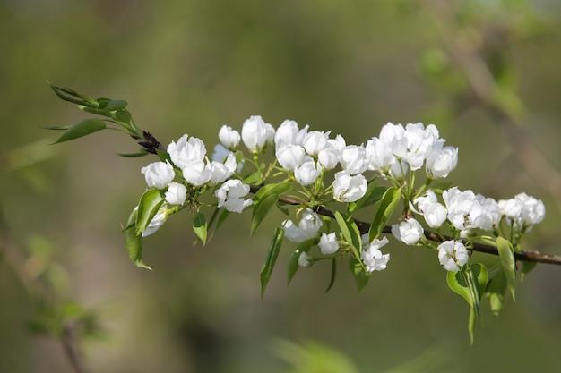 Branche fleurie gros plan avec des fleurs blanches
