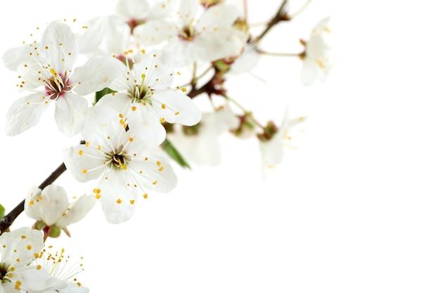Branche fleurie isolée sur blanc
