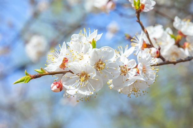 Branche en fleurs d'un abricotier contre le ciel bleu