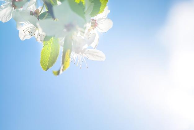 Branche avec des fleurs blanches sur un cerisier en fleurs, fond doux de feuilles de printemps vertes et ciel bleu