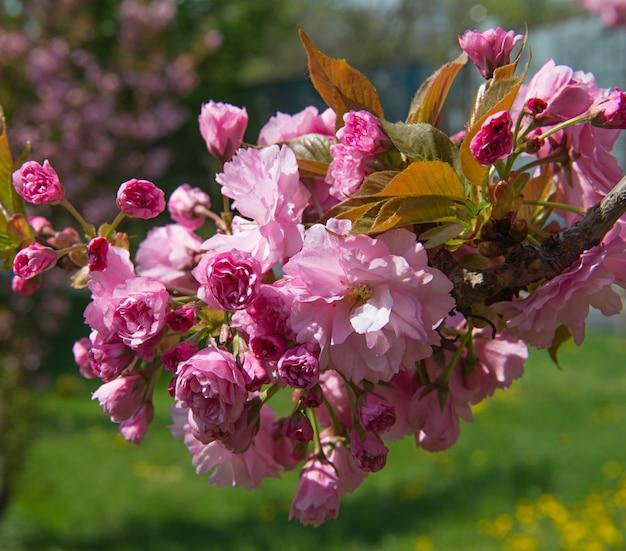 Branche de fleurs de cerisier avec un beau fond de nature douce.