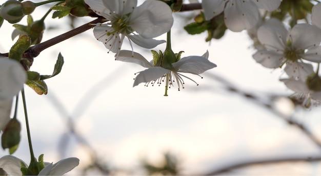 Branche de fleurs de cerisier. focus sur le premier plan. faible profondeur de champ.