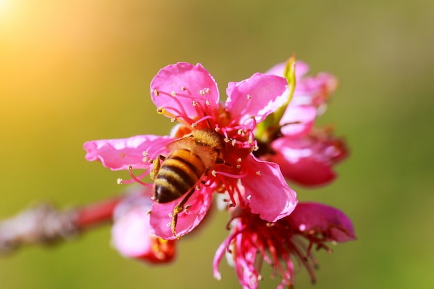 Une branche de fleurs de cerisier. printemps jeunes fleurs. la lumière du soleil à travers les branches.