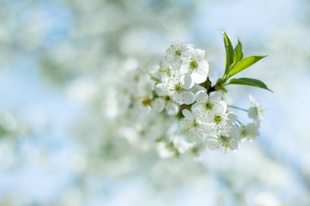 Une branche des fleurs de cerisier