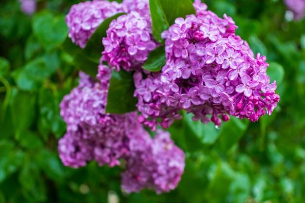 Branche de fleurs lilas aux feuilles vertes. fleur de grosse branche de lilas. fleurs lumineuses de printemps lilas bush.bouquet de fleurs violettes.printemps fleurs lilas bleu gros plan sur fond flou.