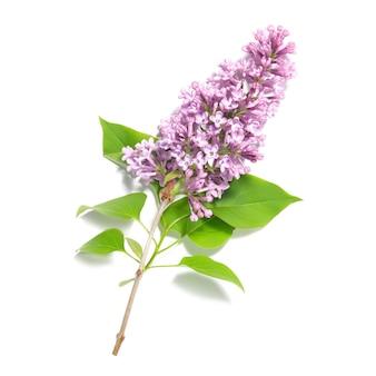 Branche de fleurs lilas violet isolé sur fond blanc