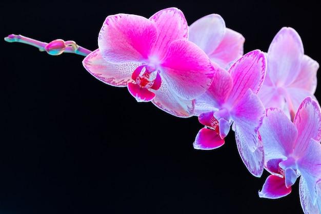Branche de fleurs d'orchidées sur fond sombre en néon bouchent