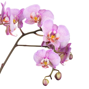 Branche de fleurs de phalaenopsis violet clair isolé sur fond blanc