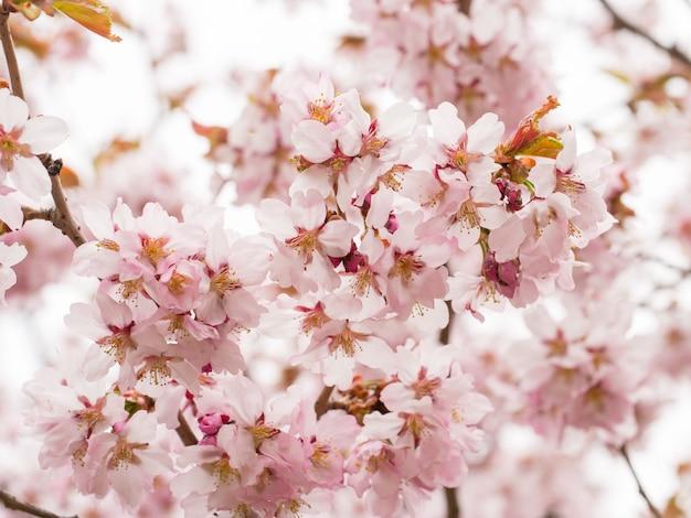 Branche avec des fleurs sakura. arbustes à fleurs abondantes avec des boutons roses fleurs de cerisier