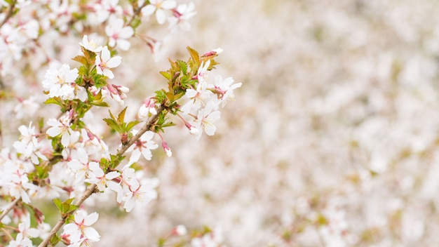 Branche avec des fleurs sakura. arbustes à fleurs abondantes avec des boutons roses