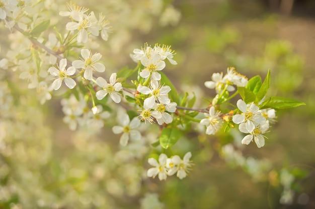 Branche florifère de fleurs de pomme et boutons de pomme. branche de pommier à feuilles vertes. concept de printemps.