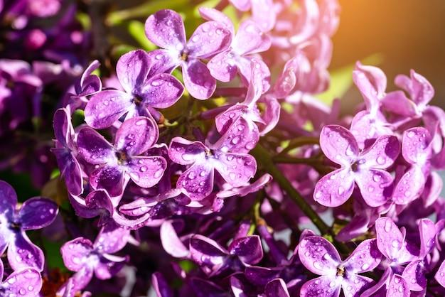 Branche florifère lilas avec des gouttes de pluie