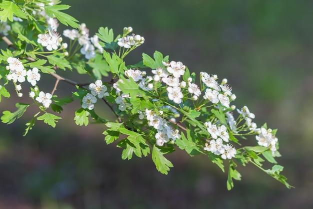 Branche florissante d'aubépine dans le jardin botanique