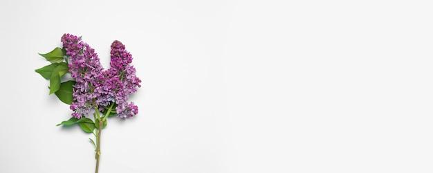 Branche fraîche de lilas rose sur fond rose.