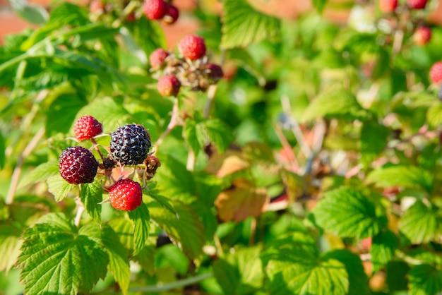 Branche de framboise noire ou de mûre avec des baies noires rouges et mûres non mûres sur buisson vert