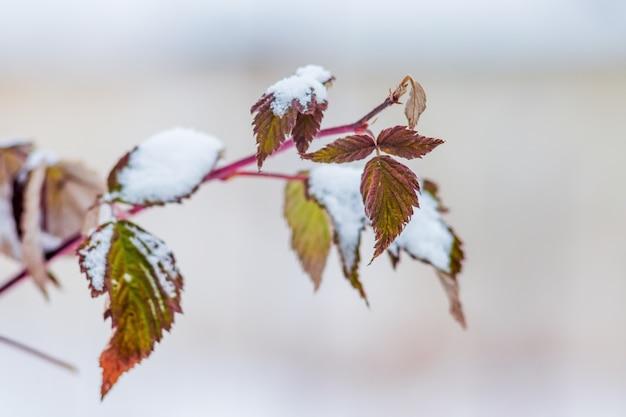 Branche de framboises aux feuilles sèches, recouverte de neige. l'hiver au jardin_
