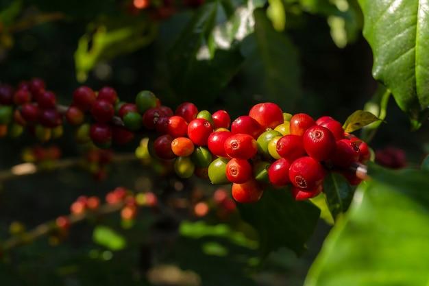 Branche de grains de café rouges frais