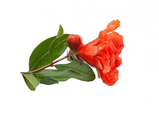 Branche de grenade en fleurs