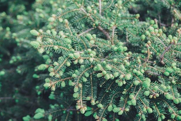 Branche de gros plan avec de nouvelles pousses de jeunes pousses d'épinette au printemps, protection de l'environnement et nouveau concept de vie