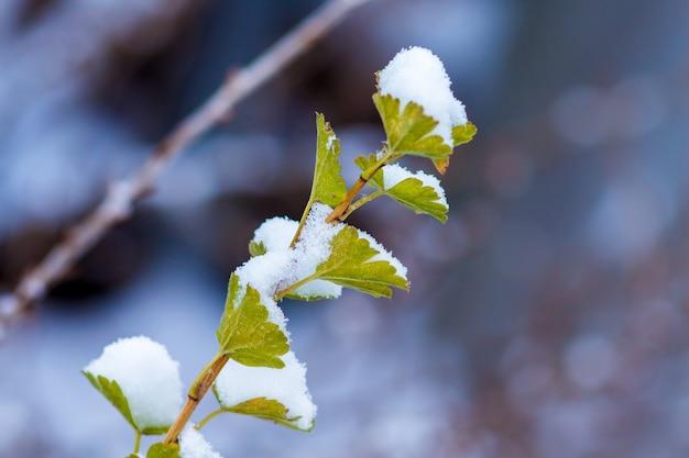 Branche de groseilles à maquereau avec des feuilles sous la neige, espace libre pour le texte_