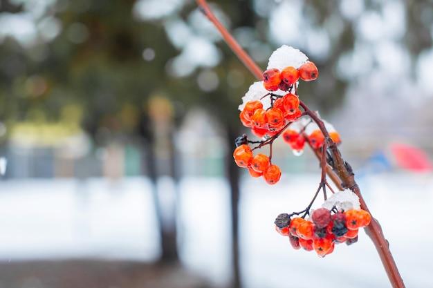 Branche d'hiver avec des baies rouges de rowan