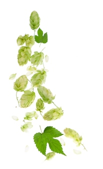 Branche de houblon vert frais, isolé sur fond blanc. cônes de houblon pour faire de la bière et du pain. fermer