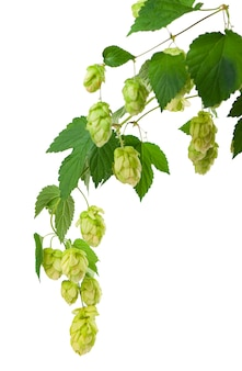 Branche de houblon vert frais, isolé sur fond blanc.