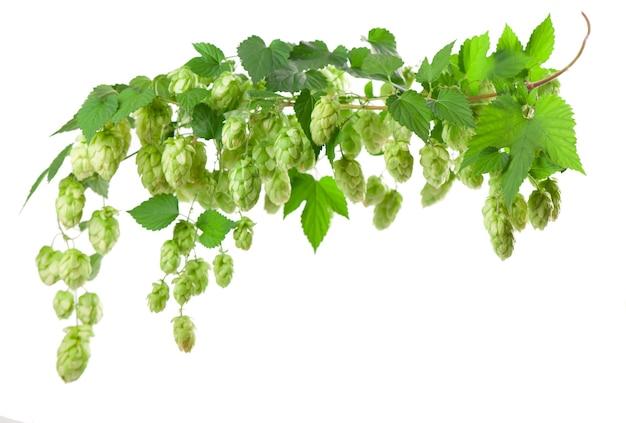 Branche de houblon vert frais, isolée sur une surface blanche. cônes de houblon pour faire de la bière et du pain. fermer