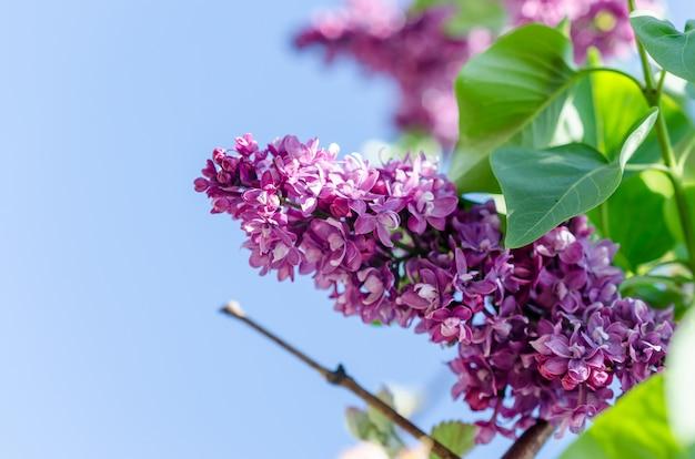Branche de lilas en fleurs sur le ciel