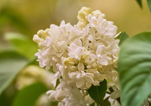 Branche de lilas en fleurs dans un jardin de printemps.