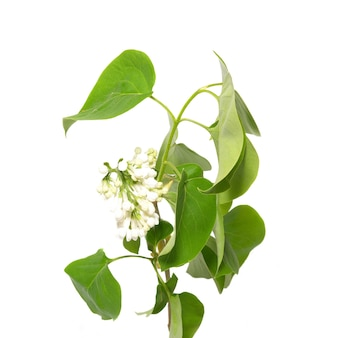 Branche de lilas isolée