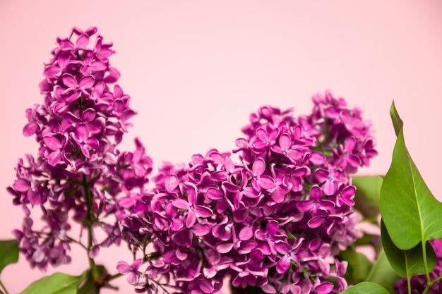 Branche de lilas rose isolée sur fond rose pastel.