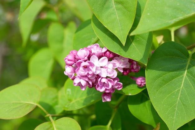 Branche de lilas violet avec des feuilles vertes