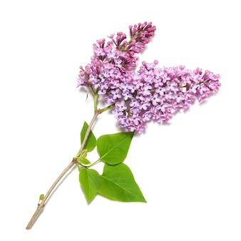 Branche de lilas violet isolé