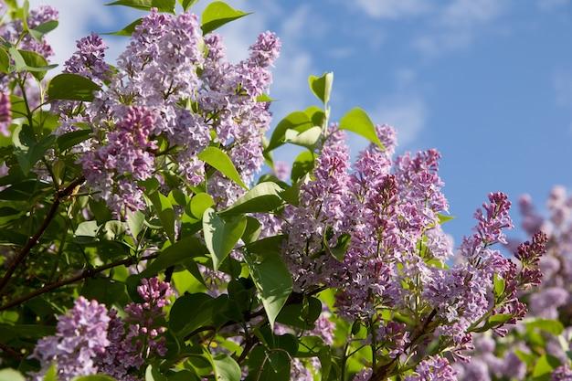 Branche lilas