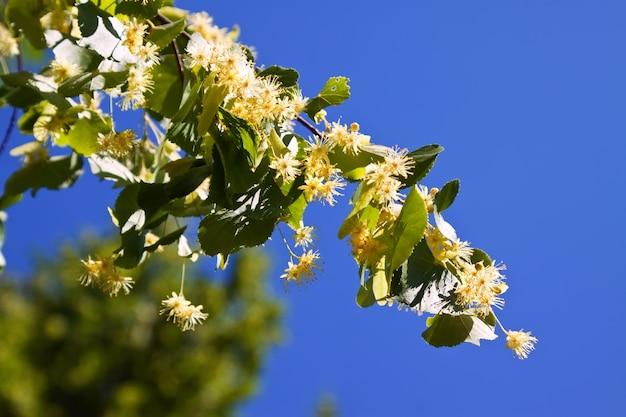 Branche de linden en fleurs