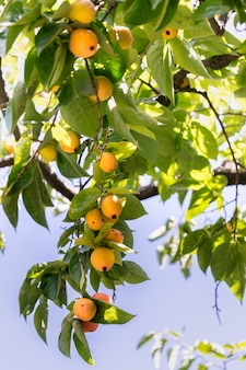 Branche lourde avec les kakis mûrs.