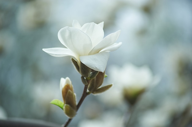 Branche de magnolia au matin ensoleillé