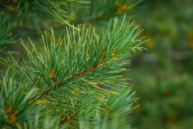 Branche moelleuse d'épinette, de pin ou de cèdre gros plan, fond de noël vert flou.