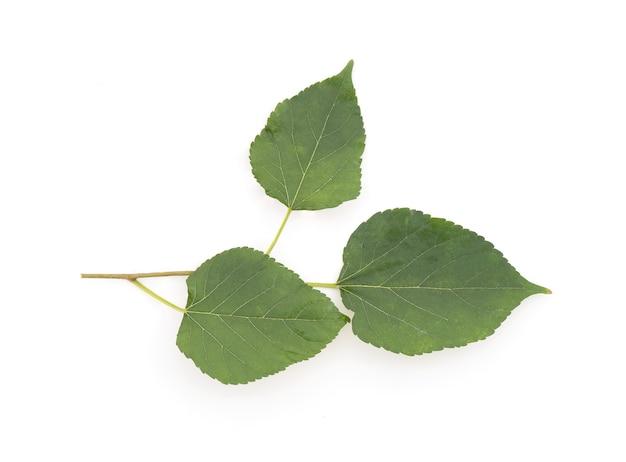 Branche de mûrier et feuilles vertes isolées sur blanc.