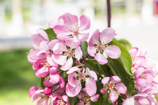 Branche naturelle de fleurs de pêcher au printemps