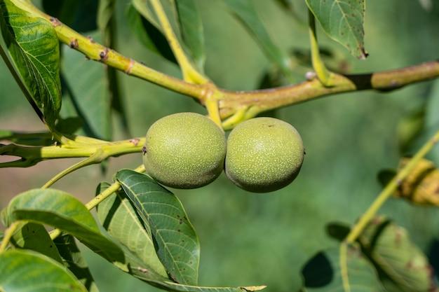 Branche de noix mûres sur arbre dans le jardin. deux noix vertes en croissance sur la branche d'un noyer dans un jardin fruitier, gros plan