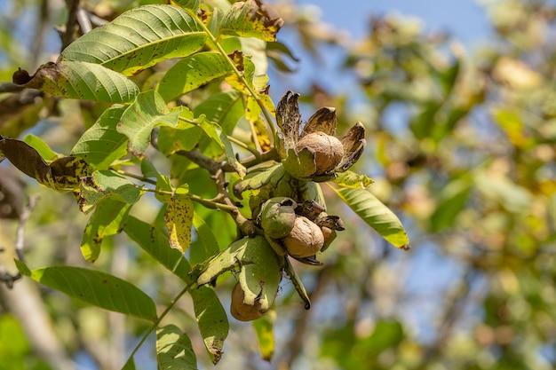 Branche de noix mûres ouvertes sur arbre dans le jardin. noix de plus en plus sur la branche d'un noyer dans un jardin fruitier, gros plan, ukraine