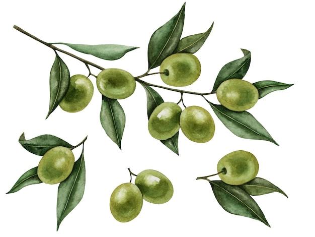 Branche d'olivier aquarelle isolée sur une illustration peinte à la main blanche.