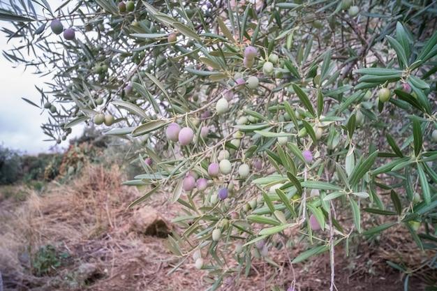 Branche d'olivier aux olives mûres